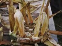 Intrecci di foglie di mais